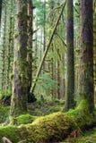 Cedar Trees Deep Forest Green Moss Covered Growth Hoh Rainforest immagini stock