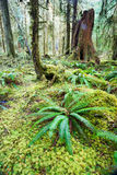 Cedar Trees Deep Forest Green Moss Covered Growth Hoh Rainforest Royalty Free Stock Image