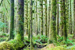 Cedar Trees Deep Forest Green Moss Covered Growth Hoh Rainforest Royalty Free Stock Photo