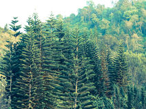 Cedar trees forest in Chang hill, Chiang Rai, Thailand: Filtered Royalty Free Stock Photo