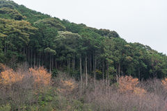 Cedar trees forest covering mountain hill side in autumn Stock Photography