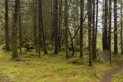 Cedar Trees. Growing tall in an Alaskan rain forest Royalty Free Stock Photos