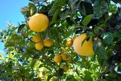 Cedar trees and lemons Royalty Free Stock Photos