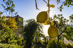 Cedar trees and lemons in a garden Stock Photos