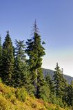 Cedar trees in a mountain stock images
