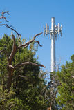 Cedar trees near a cell tower Royalty Free Stock Photography