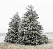 Cedar Trees with white frost. A winter scene with two cedar trees dusted with frozen ice stock photos