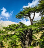 Cedar trees Stock Image