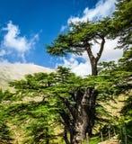 Cedar trees Stock Image