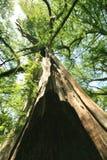 cedar umierającego Teksas drzewo Zdjęcia Stock