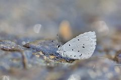 Cedar Valley Glass butterfly in water Stock Images