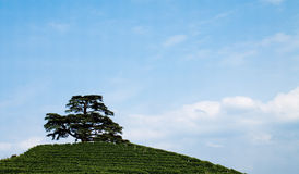 Cedar and vineyards Stock Photo
