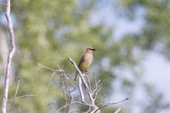 Cedar Wax Wing. Perched near a New York stream Royalty Free Stock Photo