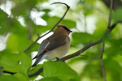 Cedar wax wing perched in tree. royalty free stock photography