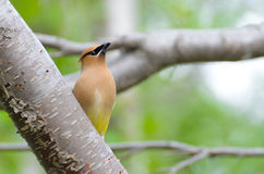 Cedar wax wing Royalty Free Stock Image