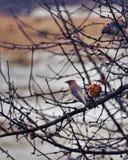 Cedar Waxing i vår Arkivfoto