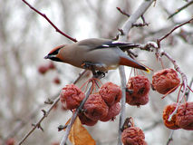 Cedar Waxwing 1 Stock Photo