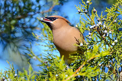 Cedar Waxwing. Eating a berry royalty free stock photo