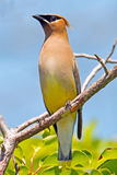 Cedar Waxwing. Standing on a branch Stock Image