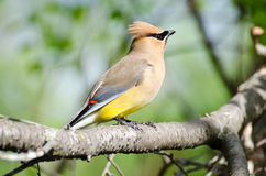 Free Cedar Waxwing Royalty Free Stock Images - 30367259