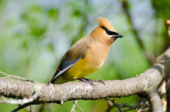 Free Cedar Waxwing Royalty Free Stock Photography - 30367687