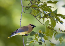 Free Cedar Waxwing Royalty Free Stock Image - 3156776