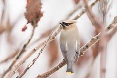 Cedar Waxwing Royaltyfri Fotografi
