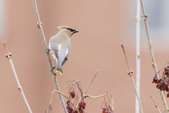 Cedar Waxwing Photo stock