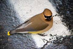 Cedar Waxwing. Close-up view of a Cedar Waxwing sitting on a white line Royalty Free Stock Image