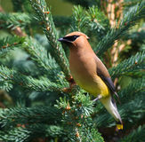 Cedar Waxwing Royalty Free Stock Photography