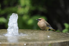 Cedar Waxwing. A Cedar Waxwing enjoys a bubbling fountain stock photos