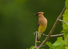 Cedar Waxwing. A beautiful crested Cedar Waxwing perches on some foliage hanging over a river where it's hunting some emerging insects Stock Image