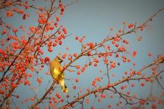 Cedar Waxwing, Berries Royalty Free Stock Images