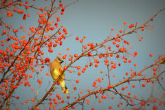 Cedar Waxwing, Berries. A Cedar Waxwing Bird surrounded by berries, perching on a branch on a bright, sunny day with blue skies in Lake Geneva, WI located in Royalty Free Stock Images