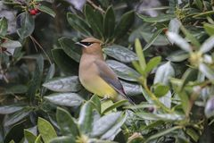 Cedar Waxwing in holly tree. Cedar waxwing after berries in holly tree royalty free stock images