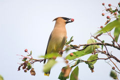 Cedar waxwing with berry Stock Images