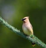 Cedar Waxwing Bird Royalty Free Stock Photos