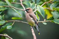 Cedar Waxwing. Bird perched on a branch stock images