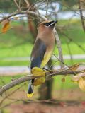 A Cedar Waxwing bird, perched on a branch stock photo