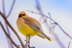 Cedar Waxwing Bird Perched op boomtak met fluffed veren stock foto's