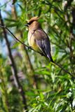 A Cedar Waxwing bird sitting on a branch Royalty Free Stock Images