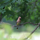 Cedar Waxwing Royalty Free Stock Images