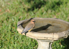 Cedar Waxwing on Birdbath Royalty Free Stock Photos