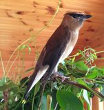 Cedar Waxwing. A birds look of intent and being on guard royalty free stock photo