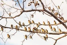 Cedar Waxwing Birds Resting Lizenzfreie Stockbilder