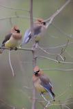 Cedar Waxwing (Bombycilla cedorum cedorum). Three individuals perched on tree Stock Images