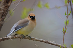 Cedar Waxwing (Bombycilla cedorum cedorum) Royalty Free Stock Photos