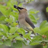 Cedar Waxwing eating a mulberry Stock Image