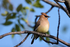 Cedar Waxwing, Bombycilla cedrorum Stock Photography