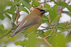 Cedar Waxwing (Bombycilla cedrorum). Sitting on a tree Royalty Free Stock Images